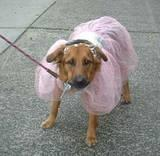 Ballerina-Dog - Growling at the cameraman just outside the ABC Regis & Kelly Halloween Show, 2001. More Pics in the Halloween-NYC section.